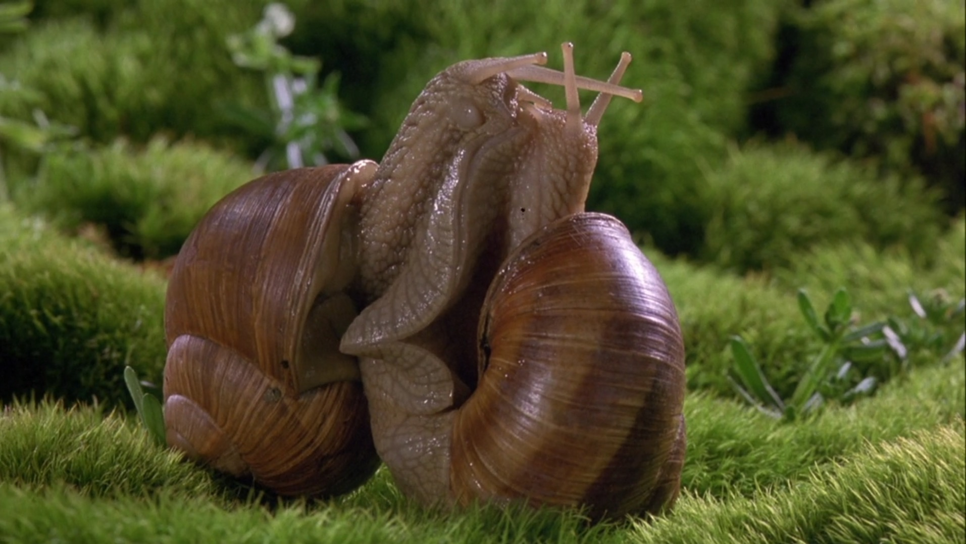 Two large snails pictured up close in grass, with their bodies pressed against each other.