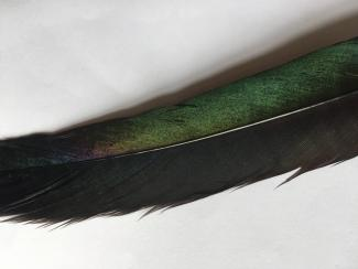 Duncan Marquiss magpie feather.jpg